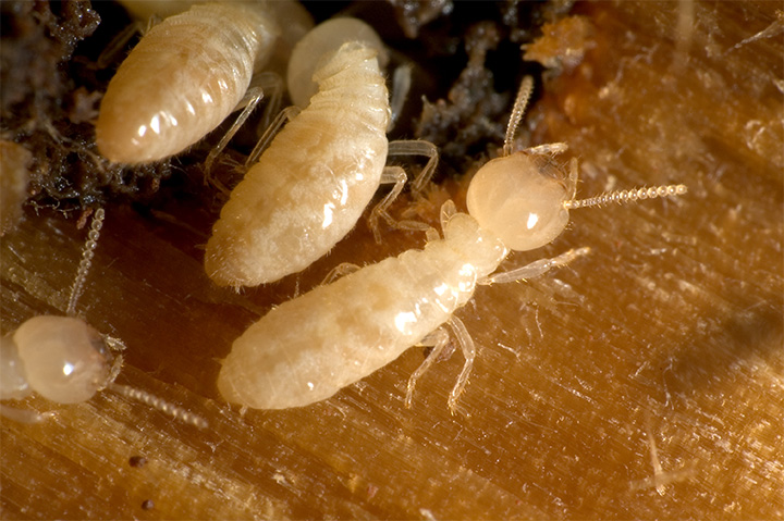 Why do termites eat wood?
