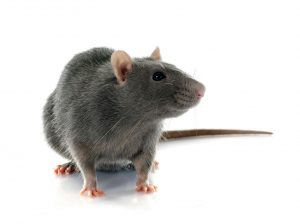 Rodent Control | Terminix New Orleans