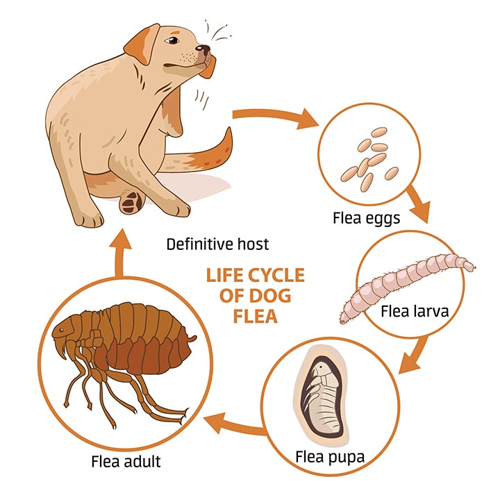 Flea Life Cycle, Flea Control