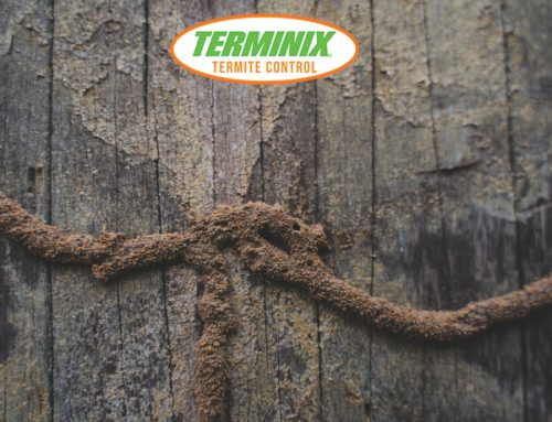 How Do Termites Spread