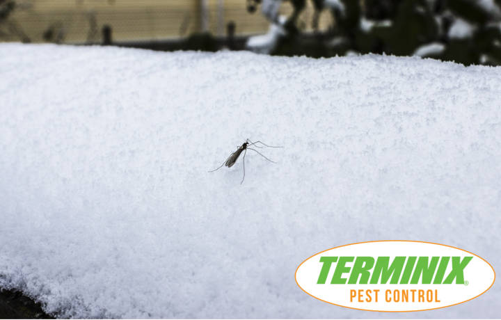 Does The Cold Weather Kill Off Mosquitoes?