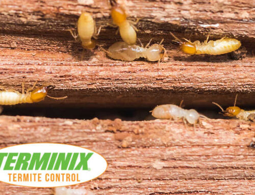 Why Do Termites Lose Their Wings?